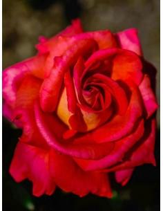 pomarańczowe róże wielkokwiatowe Freude
