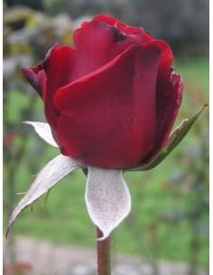 Grand Gala bordowe róże wielkokwiatowe