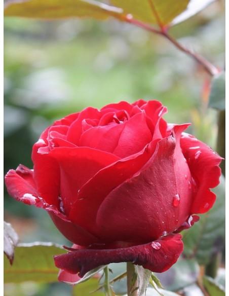 bordowe róże wielkokwiatowe Grand Gala
