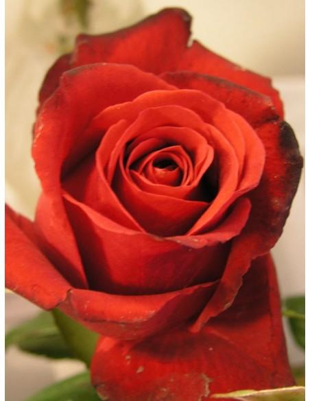 Grand Gala wielkokwiatowe róże bordowe