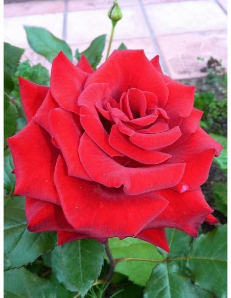 wielkokwiatowe róże bordowe Grand Gala