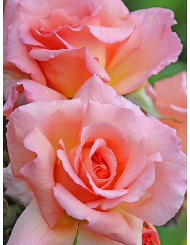łososiowe róże pnące Compassion