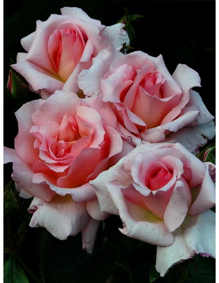 łososiowe roze pnace Compassion