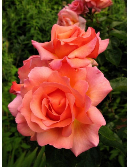 róże pnące łososiowe Compassion