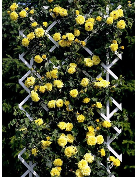 róże pnące Goldstern