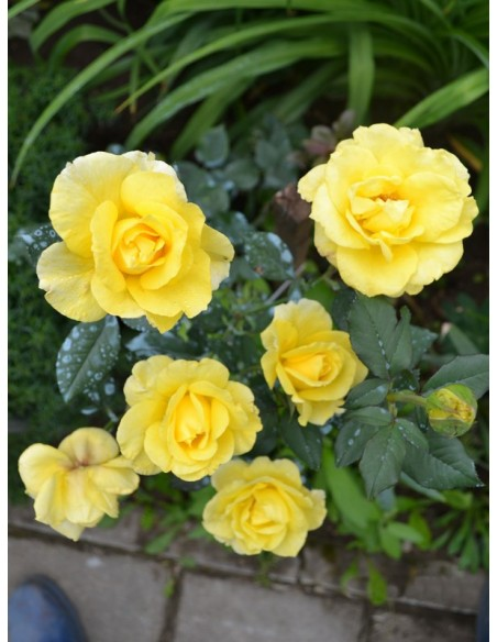 żólte róże pnące Goldstern