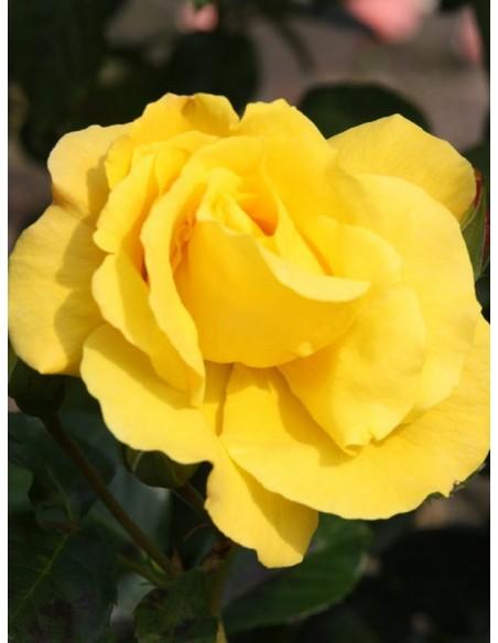 Goldstern żólte róże pnące