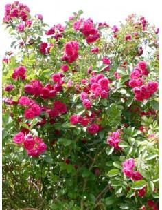 róże parkowe Grootendorst