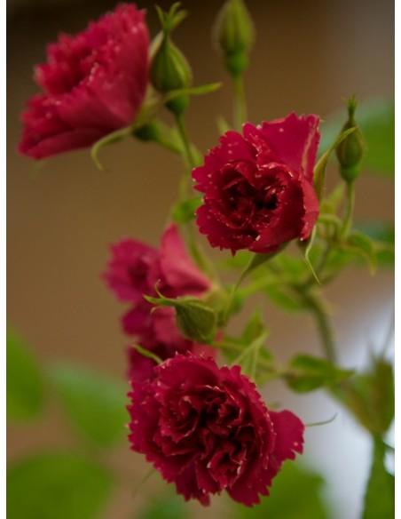 róże parkowe F.J. Grootendorst
