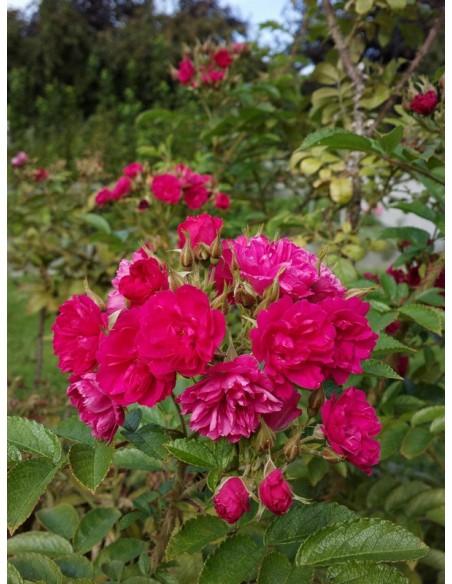 parkowe róże Grootendorst