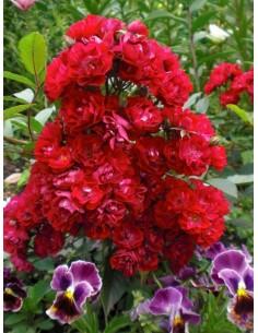 Alberich roze okrywowe
