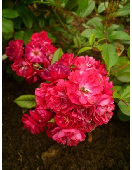 roze okrywowe Alberich