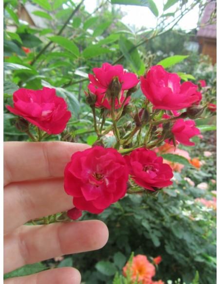 czerwone roze okrywowe Alberich
