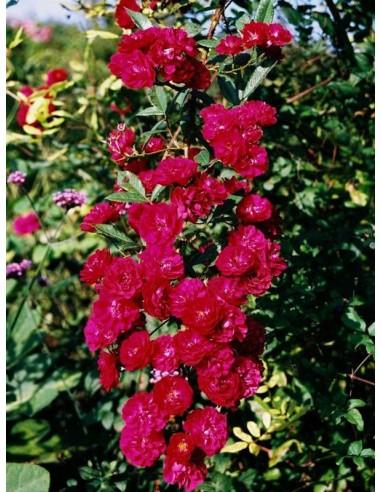czerwone róże okrywowe Alberich