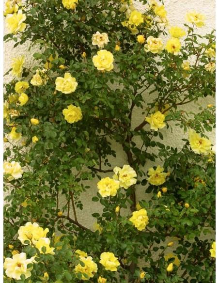 Golden Showers żółte róże pnące