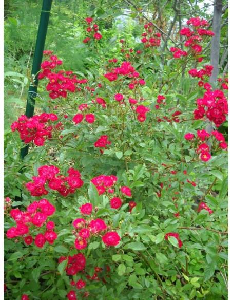 roze okrywowe Alberich czerwone