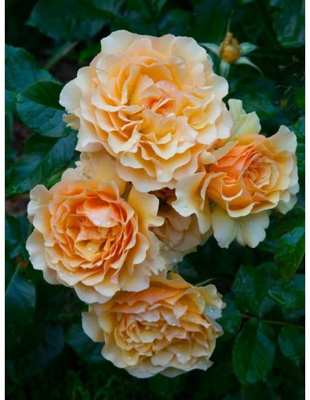 róże rabatowe AMBER QUEEN