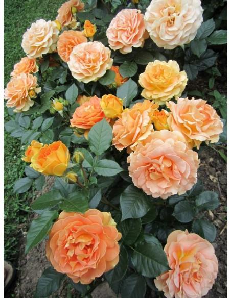 roze rabatowe AMBER QUEEN