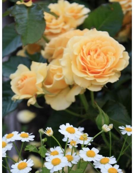 AMBER QUEEN róże rabatowe