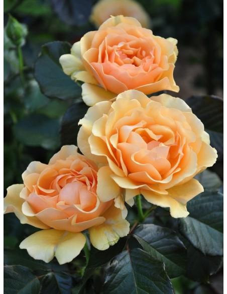 rabatowe róże AMBER QUEEN