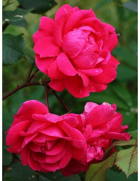 róże krzaczaste Aleksander MacKenzi