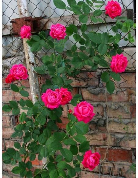krzaczaste róże Aleksander MacKenzi