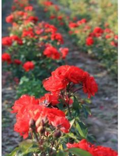 czerwone róże satchmo