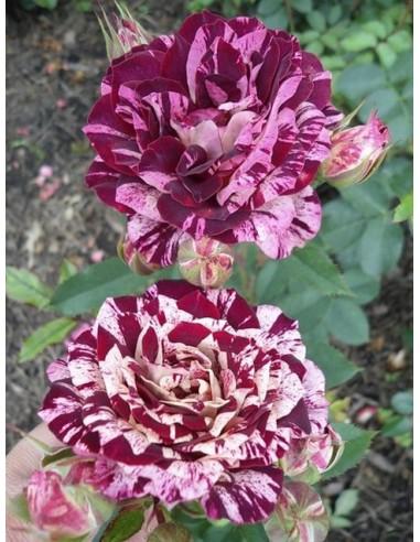 New Imagine wielobarwne róże rabatowe