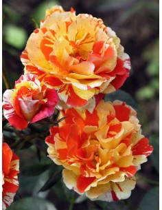 Oranges and Lemons róże rabatowe