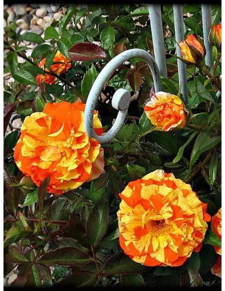 róże rabatowe Oranges & Lemons