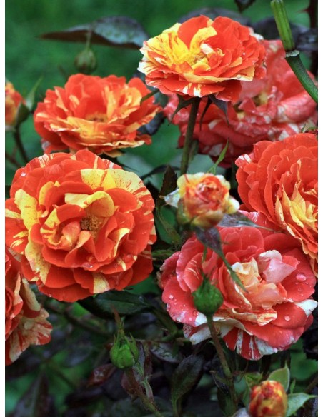 róże rabatowe Oranges and Lemons