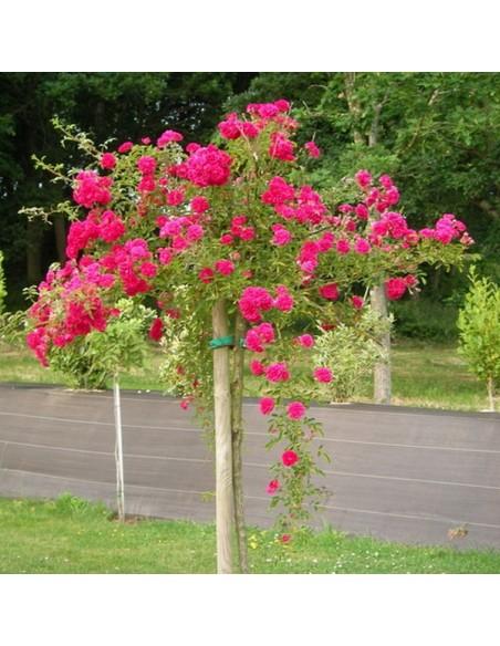 roza excelsa