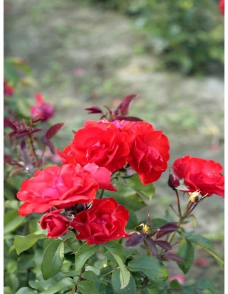 Satchmo róża rabatowa