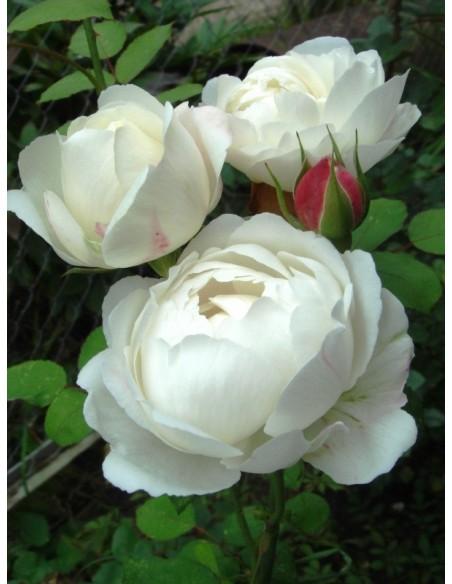 Auscat róże angielskie białe
