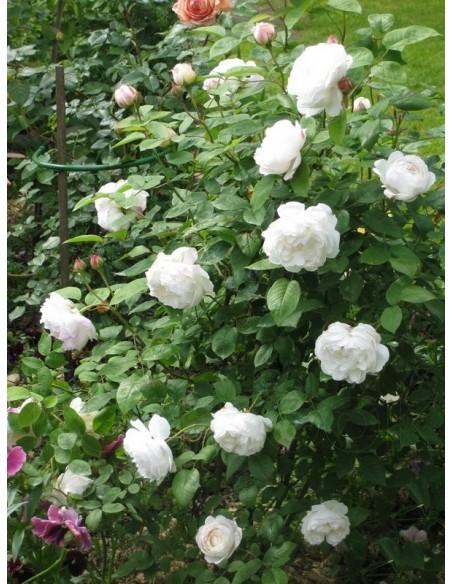 róze angielskie białe Auscat