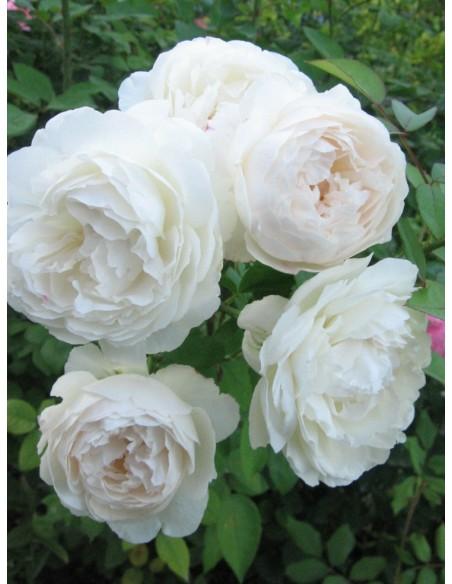 białe róze angielskie Auscat