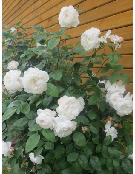 białe angielskie róze Auscat
