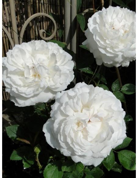 Auscat białe róze angielskie