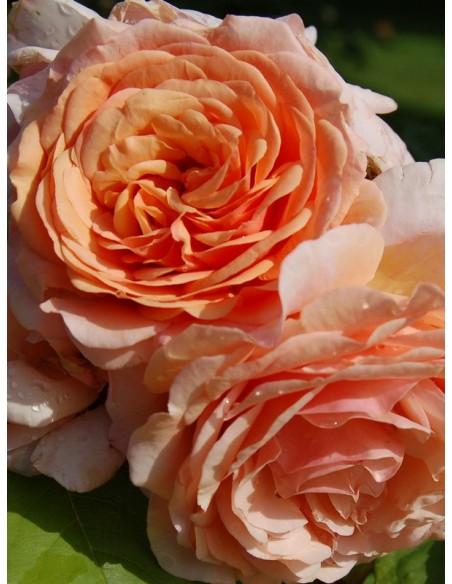 róże angielskie Charming Apricot