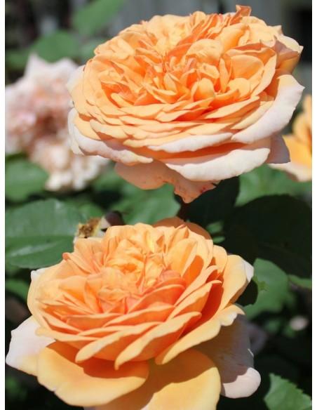 Charming Apricot róże angielskie