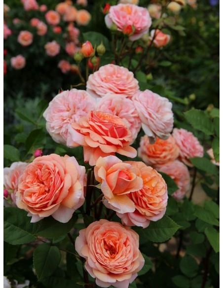 herbaciane róże angielskie Charming Apricot