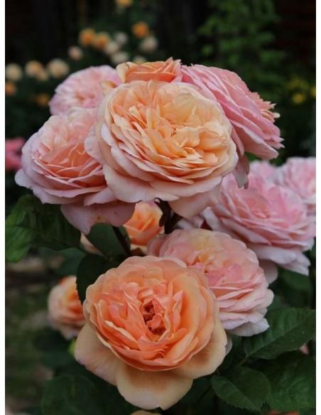 róże angielskie Charming Apricot herbaciane
