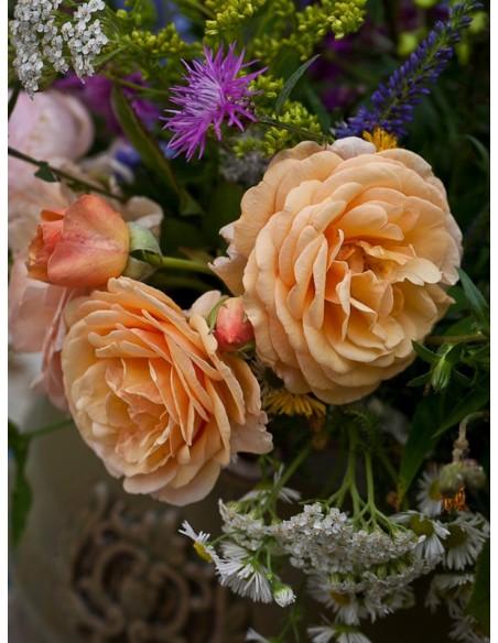 herbaciane angielskie róże Charming Apricot