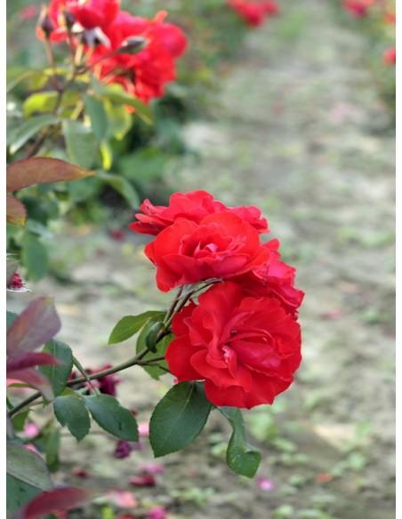 rabatowa roza Satchmo