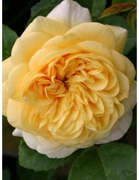 róże angielskie Yellow Charles Austin parkowe