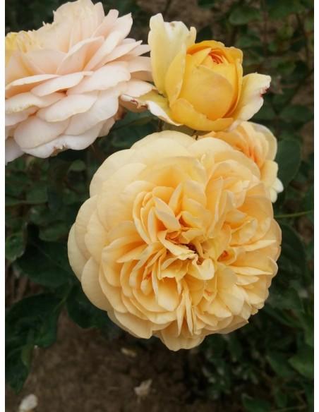 róże angielskie Yellow Charles Austin