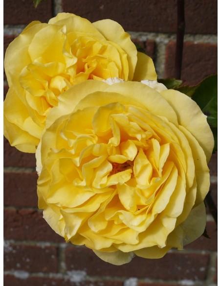parkowe róże angielskie Yellow Charles Austin