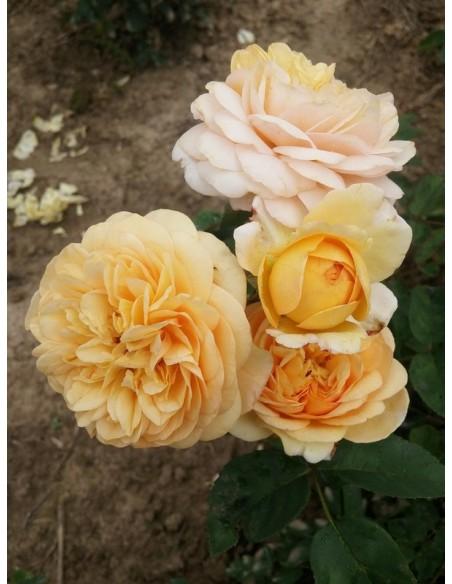 Yellow Charles Austin róże angielskie
