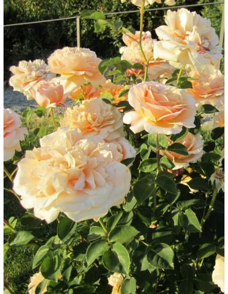 English Garden angielskie róże