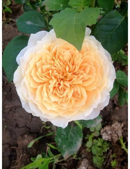 English Garden róże angielskie